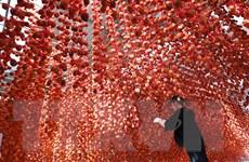[Photo] Hồng treo gió - Đặc sản thu hút khách du lịch khi tới Đà Lạt