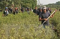Chính quyền Colombia phá số lượng kỷ lục các đồn điền trồng coca