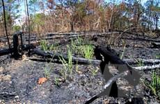 [Photo] 1000m2 rừng thông phòng hộ ở Lâm Đồng bị triệt hạ, đốt cháy