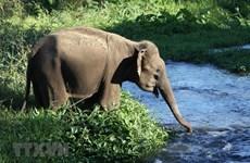 [Mega Story] Bảo tồn quần thể voi chốn đại ngàn Tây Nguyên