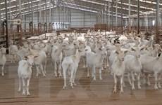 Kỳ vọng phát triển tại trang trại trại dê sữa lớn nhất Việt Nam