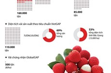 [Infographics] Bắc Giang: Sản lượng vải thu hoạch tăng 10.000 tấn