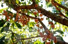Kiên Giang phát triển kinh tế từ vườn cây du lịch sinh thái