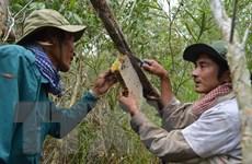 Nghề gác kèo ong ở Cà Mau - Di sản văn hóa phi vật thể quốc gia
