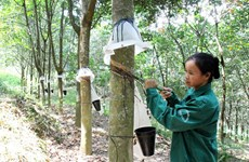 Bảo vệ, phát triển rừng ở Điện Biên: Tạo đột phá bằng cây công nghiệp