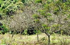 Tiền Giang: Phục hồi hàng nghìn hécta vườn cây ăn quả bị hạn mặn