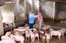 Trà Vinh: Nhiều hộ chăn nuôi gặp khó khăn khi tái đàn lợn