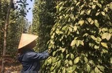 Sản xuất theo nông nghiệp sạch: Hướng đi mới cho hồ tiêu Việt Nam