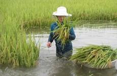 Hậu Giang: 1.000ha lúa, cây ăn trái bị ảnh hưởng do mưa kéo dài