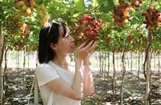 Ninh Thuận tạo đột phá, thúc đẩy du lịch nông nghiệp phát triển
