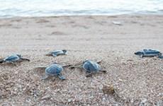 Ninh Thuận: Cứu hộ, thả hơn 800 cá thể rùa quý hiếm về biển
