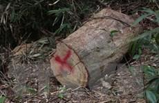 [Photo] Phát hiện hơn 170 cây bị chặt hạ ở rừng đặc dụng Mường Phăng