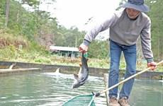 Đà Lạt: Người nuôi cá tầm lao đao do cạnh tranh cá tầm ngoại nhập