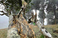 [Photo] Yên Bái: Cây chè tổ Suối Giàng hơn 400 tuổi kêu cứu