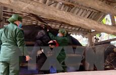 Bộ đội Biên phòng Lào Cai tuần tra, giúp dân chống rét cho đàn gia súc