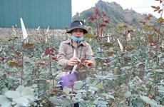 Lai Châu: Vùng trồng hoa hồng San Thàng chuẩn bị phục vụ Tết
