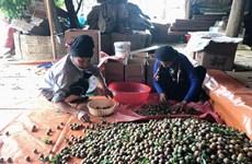 Sơn La: Giá mận tam hoa đầu mùa ổn định, người trồng phấn khởi