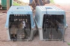 Bình Phước: Tiếp nhận 13 cá thể cheo cheo để thả về rừng