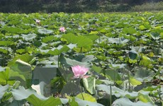 [Photo] Nghệ An: Xã Kim Liên phát triển cây sen gắn với du lịch