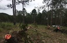 Quảng Ngãi: Khởi tố hai đối tượng để điều tra hành vi hủy hoại rừng