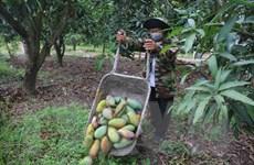 Bà Rịa-Vũng Tàu: Nhiều nhà vườn gặp khó vì trái cây vụ hè rớt giá