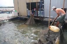Tồn hàng, nhiều hộ nuôi cá lồng bè trên sông Chà Và rơi vào khó khăn