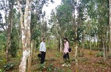 Bảo tồn những vườn chè cổ thụ trăm tuổi ở vùng đất đỏ Quảng Trị