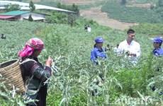Lào Cai đưa dược liệu thành cây chủ lực trong phát triển nông nghiệp