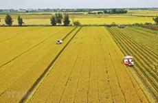 Giải quyết điểm nghẽn cho nông sản: Thiếu nhân công thu hoạch, sơ chế