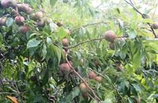 """Lào Cai chú trọng phát triển """"tam nông,"""" tái cơ cấu nông nghiệp"""