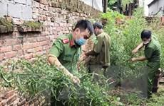 Vĩnh Phúc: Phát hiện, nhổ bỏ hơn 100 cây cần sa trồng ở nhà một hộ dân