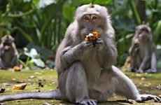 """Thiếu thức ăn, khỉ đói trên đảo Bali """"đột kích"""" nhà dân"""