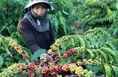 Kim ngạch xuất khẩu càphê sang thị trường Anh giảm đáng kể