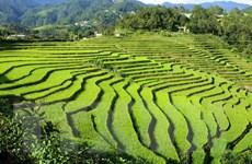 Ngắm nhìn vẻ đẹp mùa vàng trên vùng biên giới Sì Lở Lầu ở Lai Châu