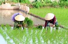 Đề xuất hỗ trợ lúa giống cho nông dân ĐBSCL sản xuất vụ Đông Xuân