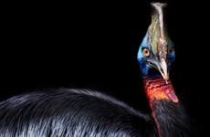 Đà điểu đầu mào, loài chim nguy hiểm nhất thế giới cách đây 18.000 năm