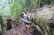 Lâm Đồng: Điều tra vi phạm quản lý, bảo vệ rừng sau phản ánh của TTXVN