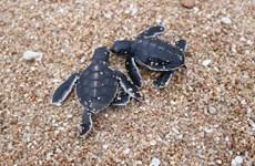 Khu dự trữ sinh quyển Núi Chúa: Nơi nâng niu sự sống cho rùa biển