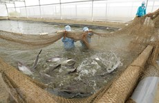 Ngành cá tra trước nguy cơ thiếu hụt nguyên liệu sản xuất