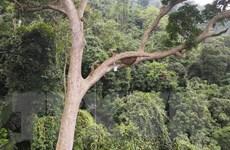 Gia Lai: Cộng đồng người Bahnar gìn giữ rừng nguyên sinh Kon Ka Kinh
