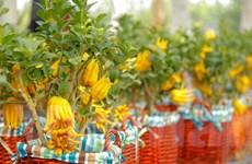 Phật thủ bonsai: Lựa chọn tao nhã cho thú chơi cây cảnh ngày Tết