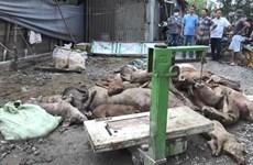 Dịch tả lợn châu Phi: Để các trang trại phát hiện ổ dịch là quá muộn