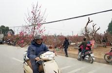 [Photo] Người dân trồng hoa đào phấn khởi vì được mùa, được giá