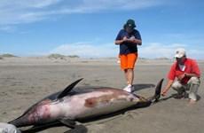 Cá heo chết hàng loạt tại Mỹ vì mắc virus sởi ở người