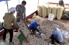 Nam Định: Ngao sạch Giao Thủy đang lấy lại thị trường