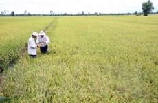 Đồng bằng Sông Cửu Long dự kiến gieo cấy gần 200.000 ha lúa