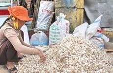 Tỏi Lý Sơn mất mùa và mất giá, nông dân huyện đảo lao đao