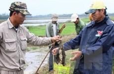 Diệt chuột và bọ chét để phòng, chống dịch hạch xâm nhập Việt Nam