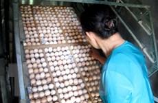 Bác bỏ tin đồn thất thiệt về trứng gà bị tiêm máu có chứa HIV
