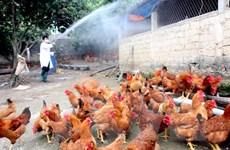 Nguy cơ các chủng virus cúm gia cầm xâm nhập trong dịp Tết